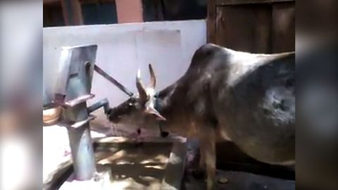 Clever Cow Pumps Water