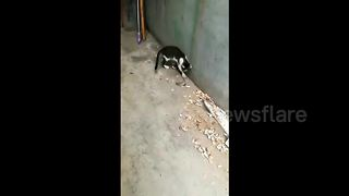 Rat rolls on ground to escape being caught by cat - Video