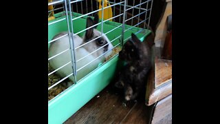 Adorable kitten meets dwarf rabbit for the first time