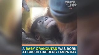 Busch Gardens Tampa Bay welcomes 3-pound baby orangutan | Taste and See Tampa Bay - Video