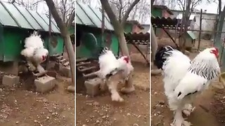 Gallo gigante causa furor en Internet y aquí está el motivo! - Video