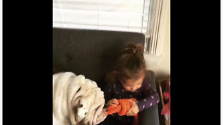 Determined Bulldog Steals Toy From Little Girl