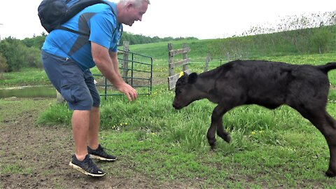 Playful calf bounces with joy to see her friend at her new meadow