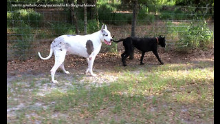 Happy Adopted Puppy Plays with Max the Great Dane
