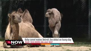 Baby camel makes her debut at Detroit Zoo - Video