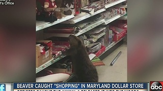 Beaver caught Christmas shopping in Dollar Store in Maryland - Video