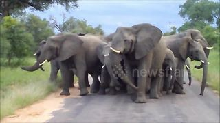 Elephant herd aggressively protects their young against pack of wild dogs