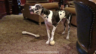 Great Dane can't help but howl along with his squeaky toy