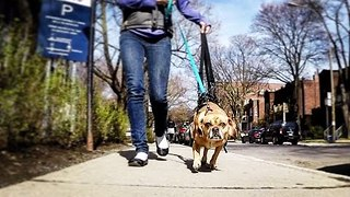 Puggle Learns to Walk Again With the Help of Harness - Video