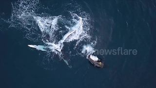 Drone captures mother whale and calf swimming off Reunion Island