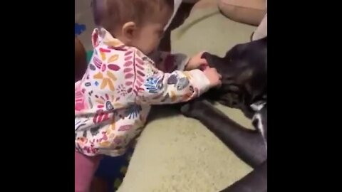 Baby puts hand in gentle Cane Corso's mouth
