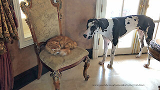 Sleepy cat totally ignores barking Great Dane