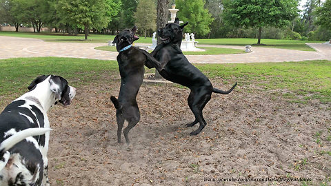 Great Danes and Friends Have Fun Dirty Dancing