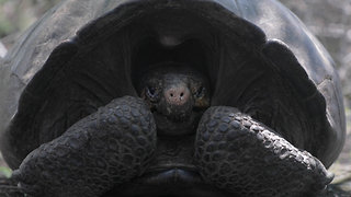'Extinct' Tortoise Rediscovered After a Century in Galapagos - Video