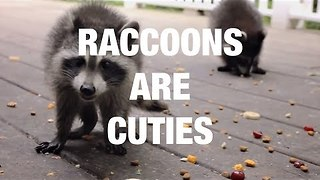Raccoons Being Their Adorable Selves - Video