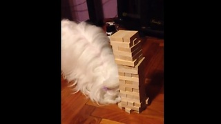Maltese plays Jenga, successfully removes block - Video