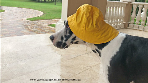 Great Dane not impressed with his rain hat