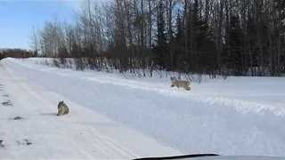 Family of Lynxes Go Hunting in Frozen Canadian Wilderness - Video