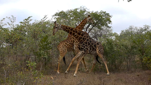 Angry Giraffes Fight Over Female: SNAPPED IN THE WILD