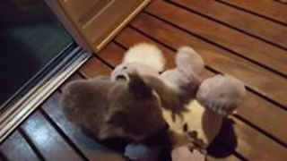 Koala Joey Crash-Tackles Toy Koala - Video