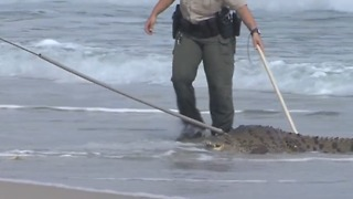 Crocodile captured on Hollywood Beach - Video