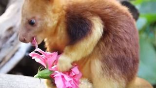 Perth Zoo's Baby Tree Kangaroo Does Well on 'Weigh Day'