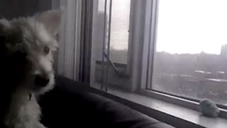 Funny Dog Tries To Reach A Window With The View