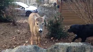 Easygoing Black Labrador Befriends A  Wild Deer - Video