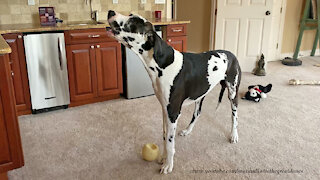 Funny Great Dane Is Embarrassed To Get Caught Howling