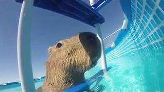 Capybara Takes a Break From Swimming in Pool to Relax - Video