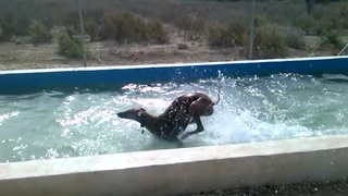 Overenthusiastic dog cools off in backyard pool - Video
