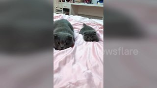 Cute kitten is a perfect mimic of his father - Video