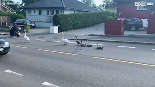 Family of swans relax in middle of road and cause long traffic queues