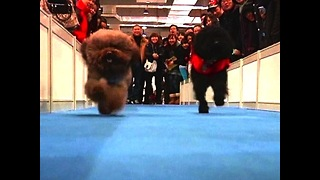 Shaghai International Dog Show - Video
