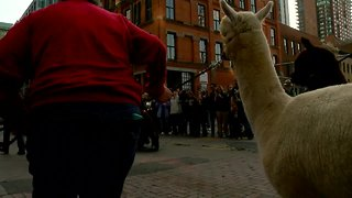 National Western Stock Show Parade marches through downtown Denver
