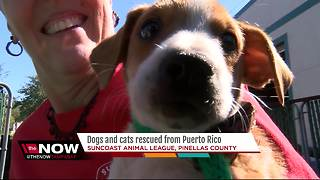 More than 100 pets rescued from Puerto Rico looking to be adopted in Tampa Bay - Video