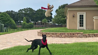 Happy Great Dane plays catch with stuffed animal