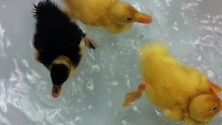 Orphaned baby ducks get introduced to water