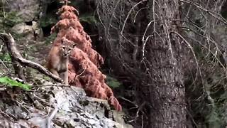 Backpackers film mountain lion in Sequoia National Forest - Video