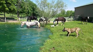 Horses enjoy a nice dip in the pond on a hot day