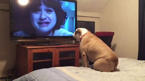 Bulldog Loves Watching Horror Movies