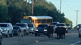 Police Called After Cows Spotted Strolling Along Road in Texas