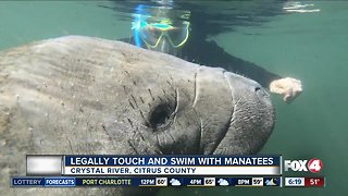 Swim and touch manatees in Crystal RiverThe Crystal River in Citrus County is the only place in the United States that will allow visitors swim with and touch manatees.