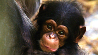 Man Adopts Baby Chimp - Video