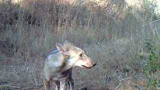 Wolf Puppies Spotted Near Rome for the First Time in Over 100 Years - Video