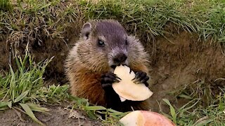 Baby groundhog enjoys apple slices until hungry seagull scares him