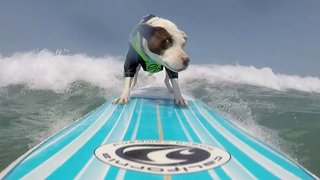 Stylish pit bull nails california waves with impressive surfing skills