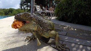 Large Green Iguana Devours Chicken Nugget at the Pool
