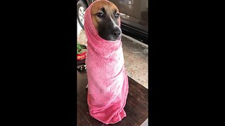 Doggy wrapped up in towel after bath