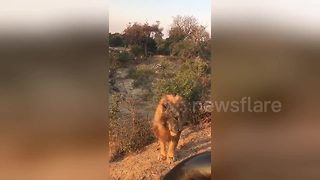 Lion roams around jeep just few inches from tourists